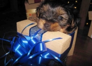 VENDO YORKIE MACHO