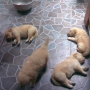 VENTA GOLDEN RETRIEVER
