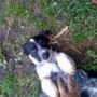 Perros para ganaderia border collie-blue heeler