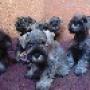cachorros de snhauzer