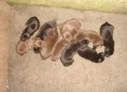 Cachorros de labrador con pedigree