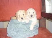 Lindos cachorros french poodle a la venta