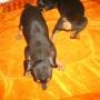 Tengo para la venta cachorritos de chihuahua, doberman pinscher y foxterrier