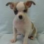 Chihuahua cachorros en adopción