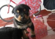 Rottweiler 6 semanas