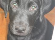 Cachorros Labrador