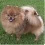 Pomeranio precioso con pedigree!!!