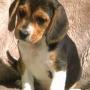 beagle tricolor ingles enanos cachorros a la venta
