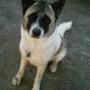 Cachorros Akita Americano (Gran Perro Japones) con pedigree