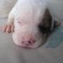 Cachorros Bulldog Ingles con Bóxer!!