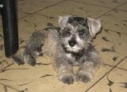 Vendo preciosos cachorros  schanauzer miniaturasal y pimienta