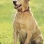 Se busca Labrador de Pelo Corto, Color crema