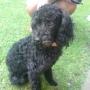 Cachorro French Poodle Negro