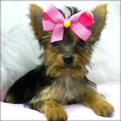 Beautiful akc registrados cachorros para su aprobación.