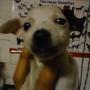 Cachorros d efox terrier