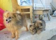 Cachorros de pomeranian