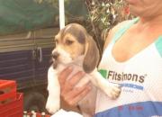 Beagles tricolor 1.5 meses, padres con pedigree