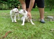 Bulldog cachorros