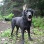 Labrador (Servicio de Padrote)