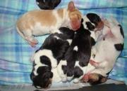 Beagles a la venta