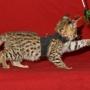 Serval  gatitos y Caracal , Chausie gatito  con Savannah F1-F2, Safari 2010a