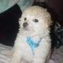 French Poodle 100% mini toy puros cachorritos perritos