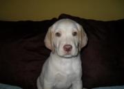 Labrador (Hermosa hembra de mes y medio con o sin pedigre)