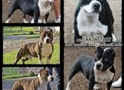 American stafford cachorros con y sin pedigri