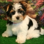 yorkie disponibles para la adopción (nicolinevanemmison@yahoo.com) cachorros