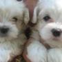 venta  de cachorros maltes