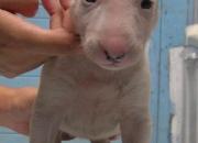 Bull terrier 100% pedigri estrangero