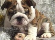 Compro Bulldog inglés cachorro