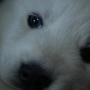 Cachorros Husky Blancos
