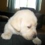 SE venden lindos cachorros labrador