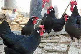 Vendo gallinas ponedoras muy baraticimas