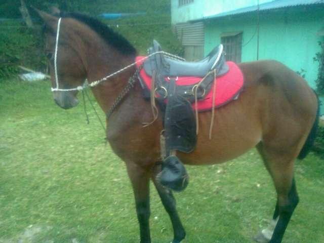 Vendo caballo cuarto de milla criollo. barato