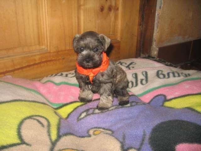 Se venden preciosos cachorros schnauzer miniatura