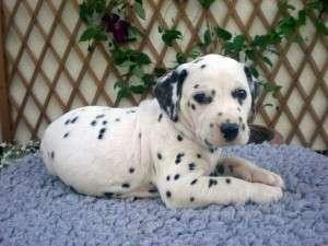 Cachorros dalmatian - top show calidad