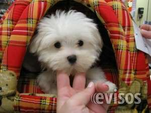 Teacup juguetón maltese puppies