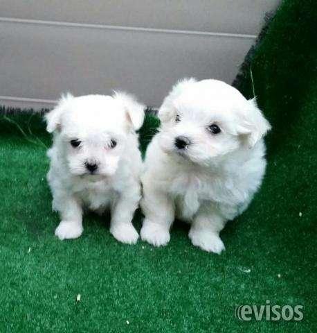 Cachorros bichon maltes mini toy macho y hembra
