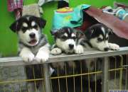inteligente cachorros Siberian Husky