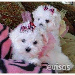 Regalo: preciosos cachorros de bichon maltes