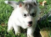 Hermosos cachorros siberianhuskypara su aprobac…