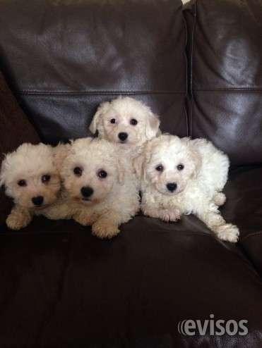 Cachorros bichon frise venta