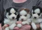 Adorables cachorros CKC Mujer husky siberiano