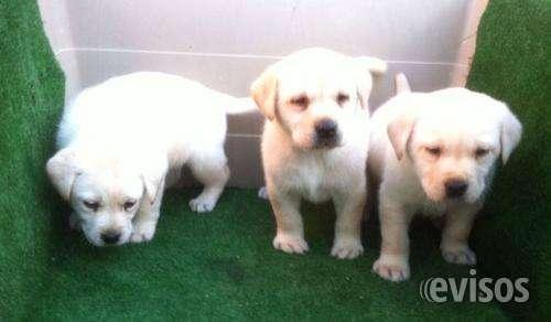 Labradores cachorros listo para entregar con pedigri.
