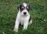 Miniature schnauzer cachoros para adopcio