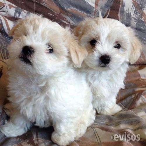 Regalo bichon maltes preciosos cachorros para adopcio