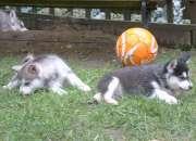 Los cachorros malamute de Alaska para la venta