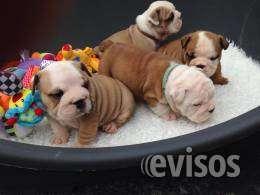 Impresionantes cachorros de bulldog british kc registrados